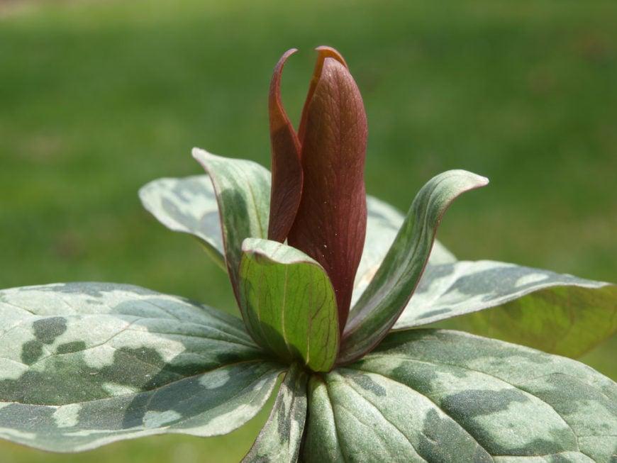 wood lily_Trillium cuneatum
