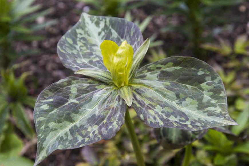 wood lily_Trillium luteum
