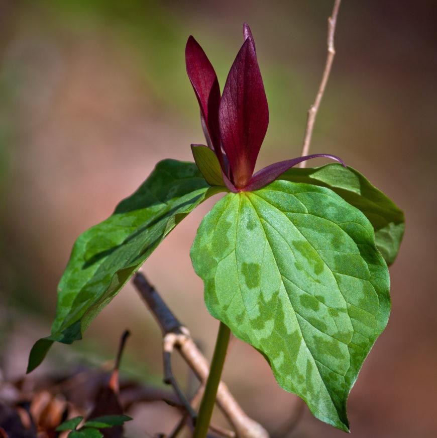 wood lily_Trillium sessile