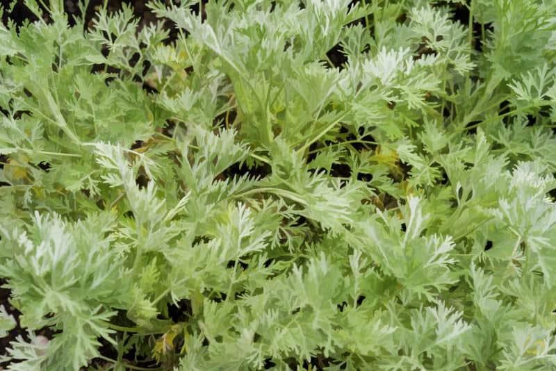 wormwood_Artemisia 'Powis Castle'