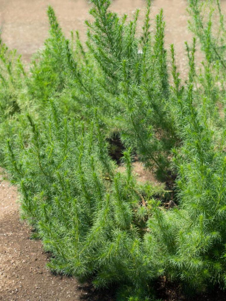 wormwood_Artemisia capillaris
