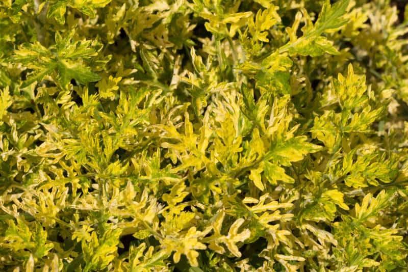 wormwood_Artemisia vulgaris 'Janlim' ORIENTAL LIMELIGHT