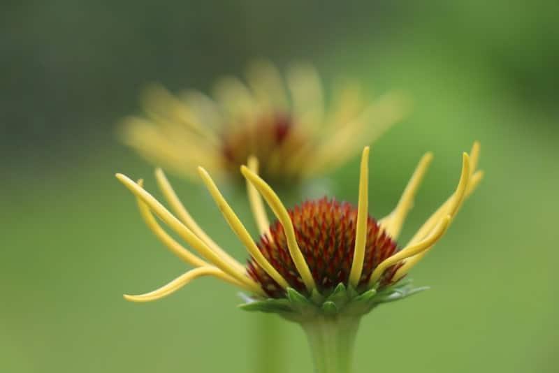 yellow coneflower_Echinacea paradoxa