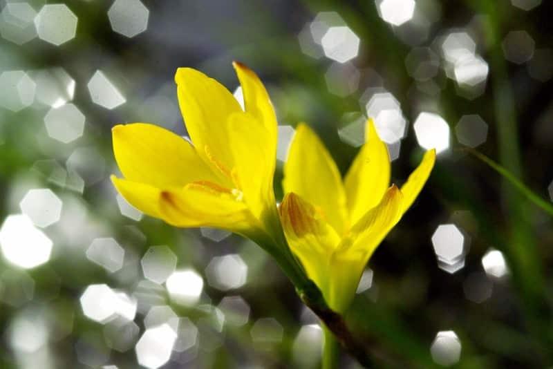 yellow-eyed grass_Sisyrinchium californicum