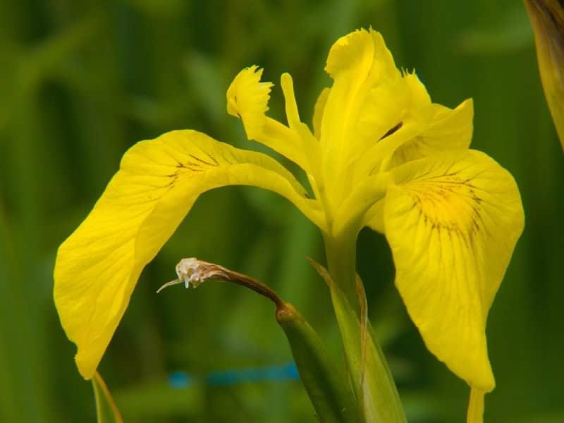 yellow flag_Iris pseudacorus