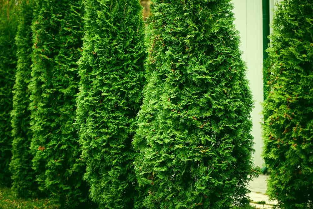 Arborvitae_Thuja