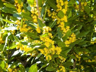 Bay Laurel (Laurus Nobilis)