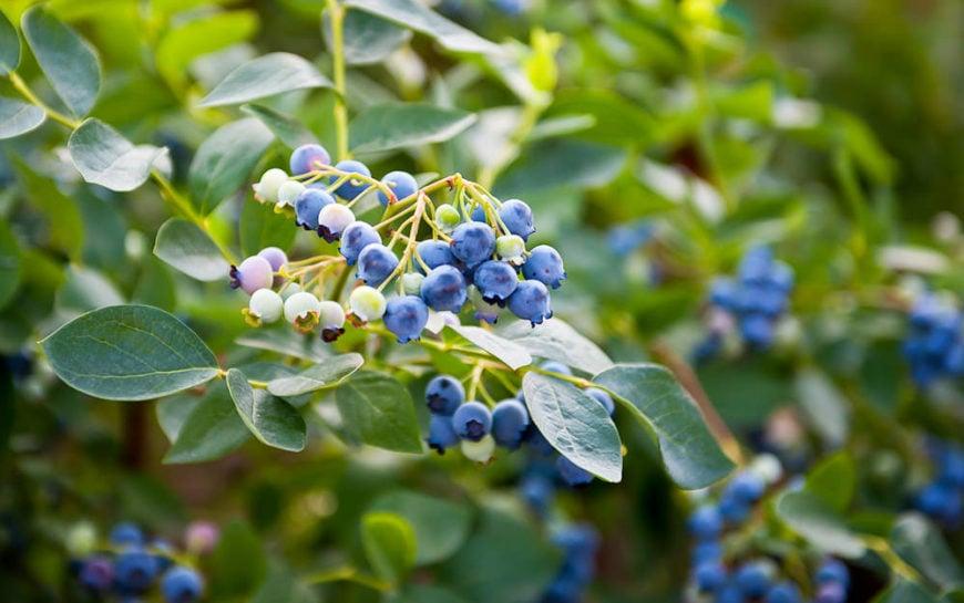Blueberries_Vaccinium