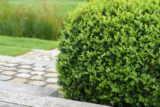 Common Boxwood (Buxus Sempervirens)