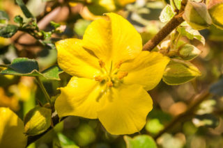 California Flannel Bush (Fremontodendron californicum)