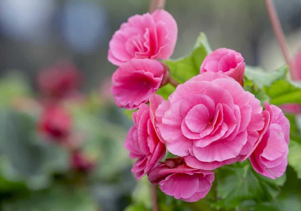 Camellia_Camellia_part sun n part shade