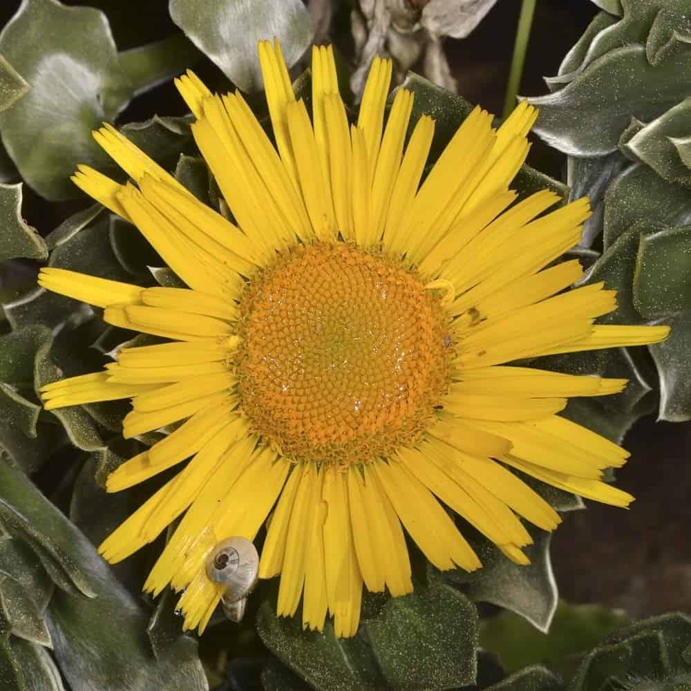 Canary island daisy_Asteriscus sericeus_part sun n full sun
