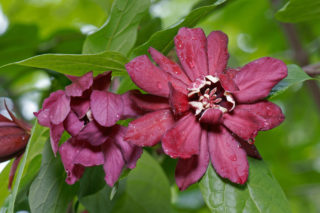 Carolina Allspice (Calycanthus floridus)