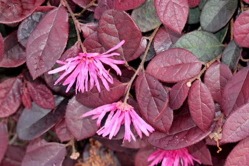 Chinese Fringe Flower_Loropetalum chinense_full sun to part sun