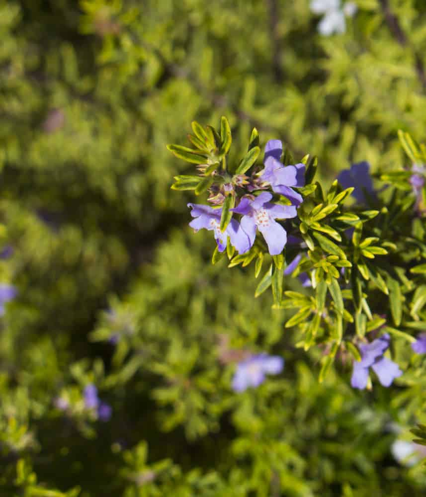 Coast Rosemary_Westringia fruticosa-part sun to sun