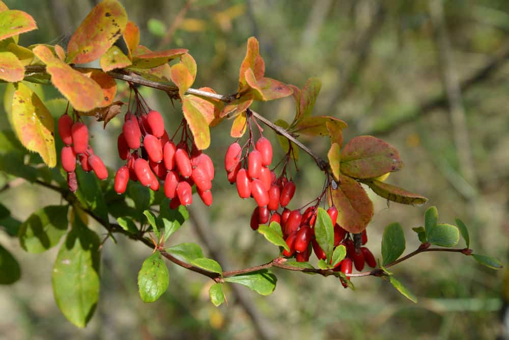 Common-Barberry_Berberis-vulgaris