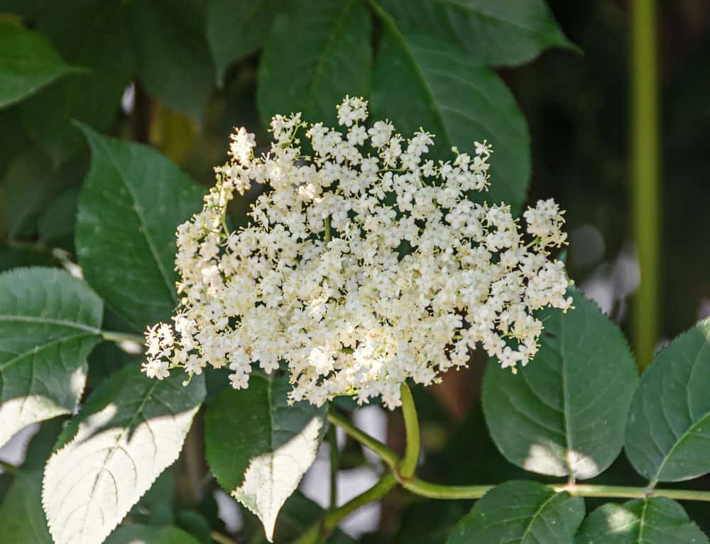 Elder Shrub_Sambucus-part sun to sun