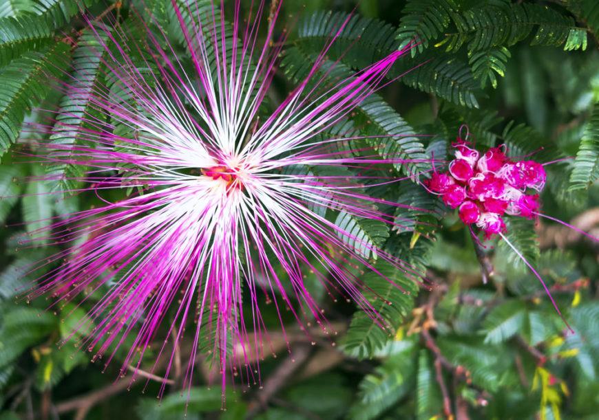 Fairy Duster_Calliandra eriophylla-full sun