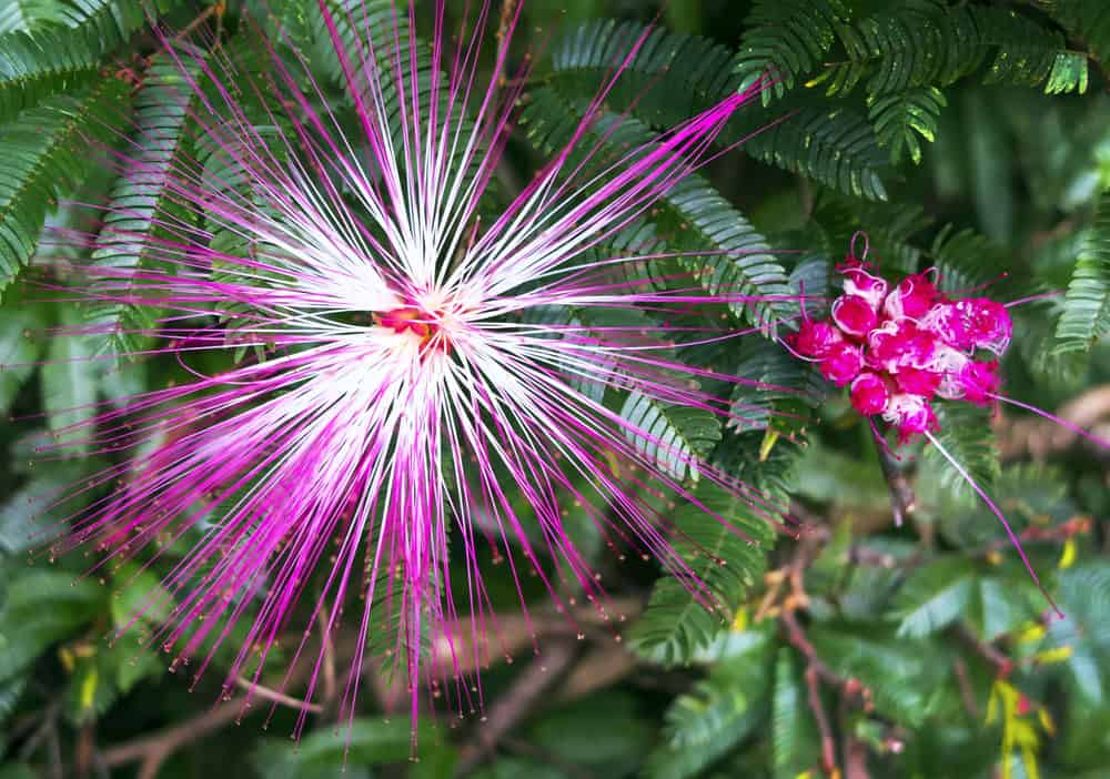 Fairy Duster_Calliandra eriophylla-full sun