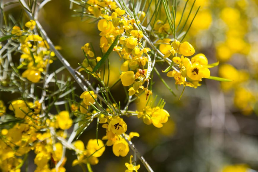 25 plants and flowers that start with f feathery cassia senna artemisioides mightylinksfo