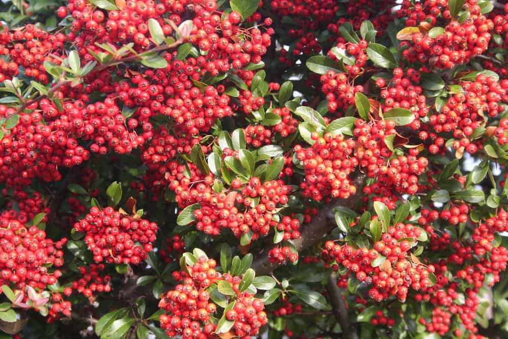 Firethorn_Pyracantha-part sun to sun
