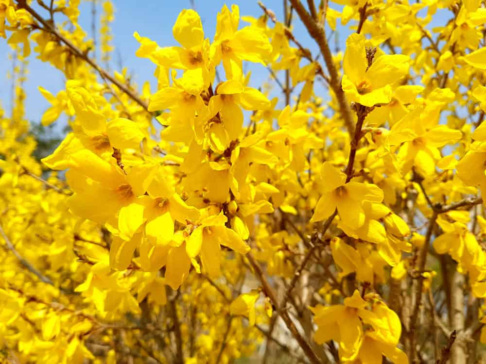 Forsythia_Forsythia-part sun to sun