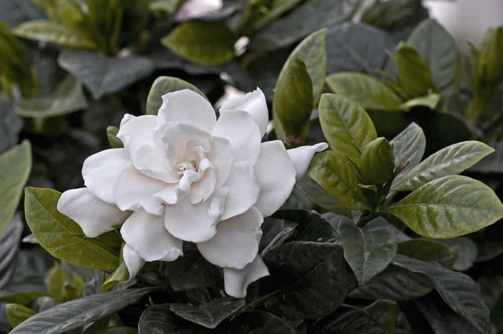 Gardenia_Gardenia augusta-full shade