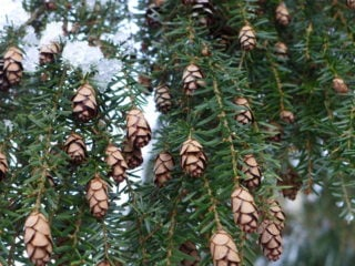 Hemlock Tree (Tsuga)