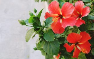 Hibiscus Bush (Hibiscus)