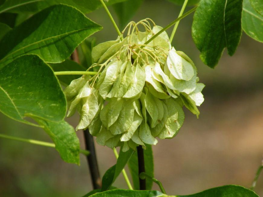 Hop Tree_Ptelea trifoliata-part shade to full shade