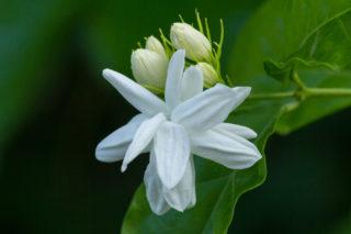 Jasmine (Jasminum)