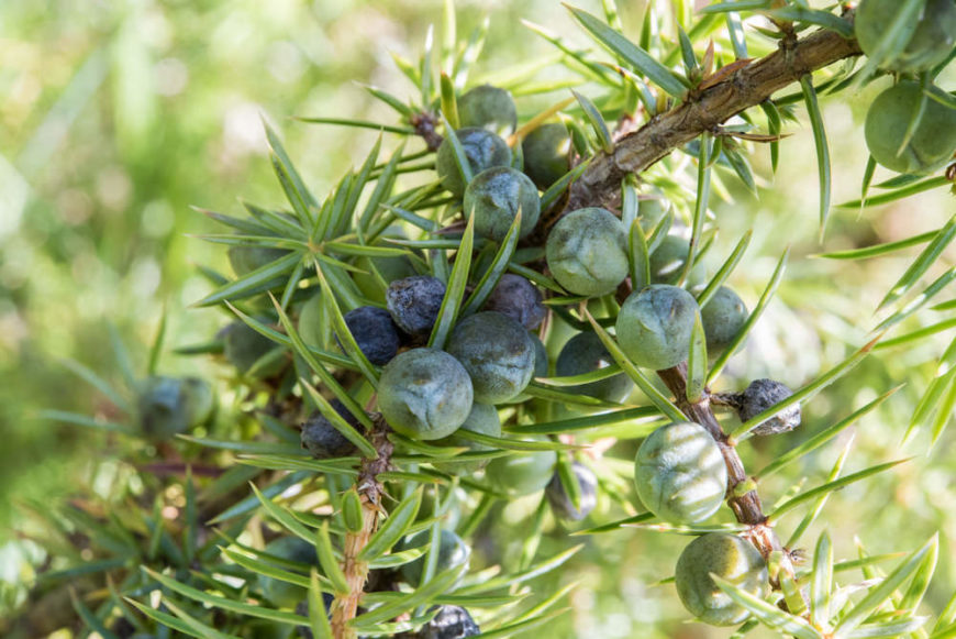Juniper Shrubs_Juniperus-part sun to full sun