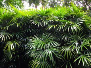Dwarf lady palm (Rhapis)