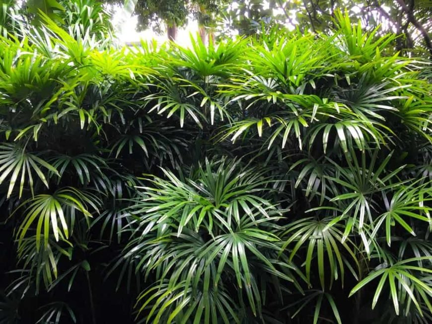 Lady Palm_Rhapis sp.-part shade to full shade