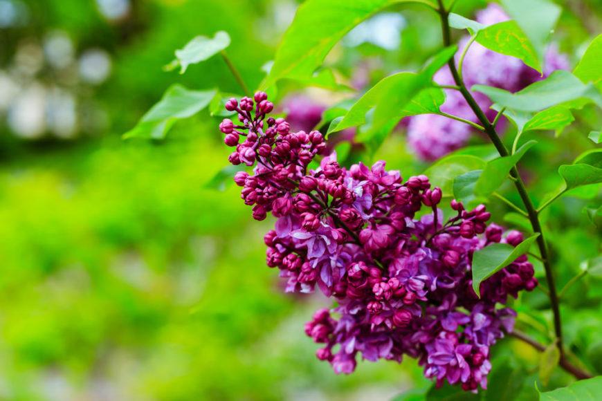 Lilac Shrubs_Syringa-full sun