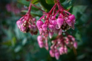 Manzanita (Arctostaphylos)