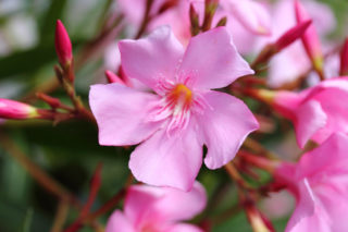 Oleander Plant (Nerium Oleander)