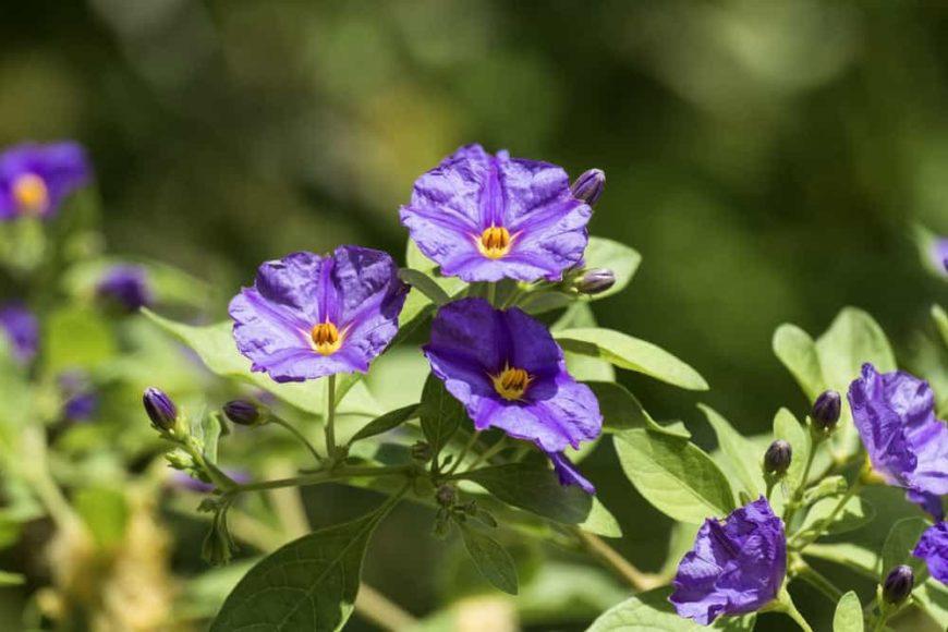 Paraguay Nightshade_Solanum rantonnetii-full sun