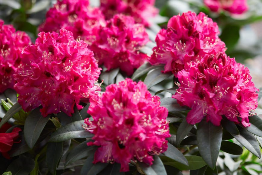 Rhododendron Shrub_Rhododendron-part shade to full shade