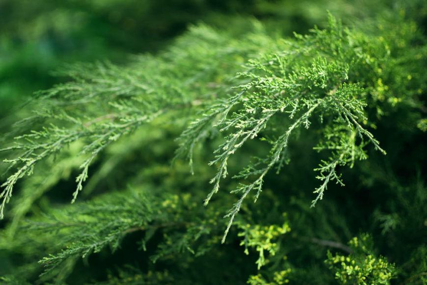 Russian Arborvitae_Microbiota decussata-part sun to full sun