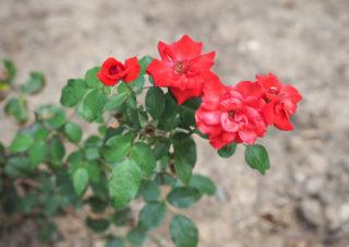 Shrub Rose (Rosa)