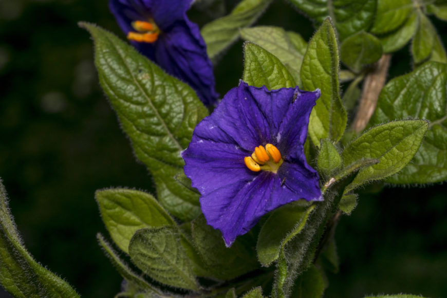 Solanum_Solanum-part sun to full sun