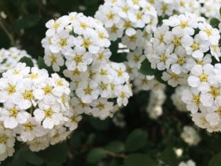 Bridal Wreath Shrub (Spiraea)