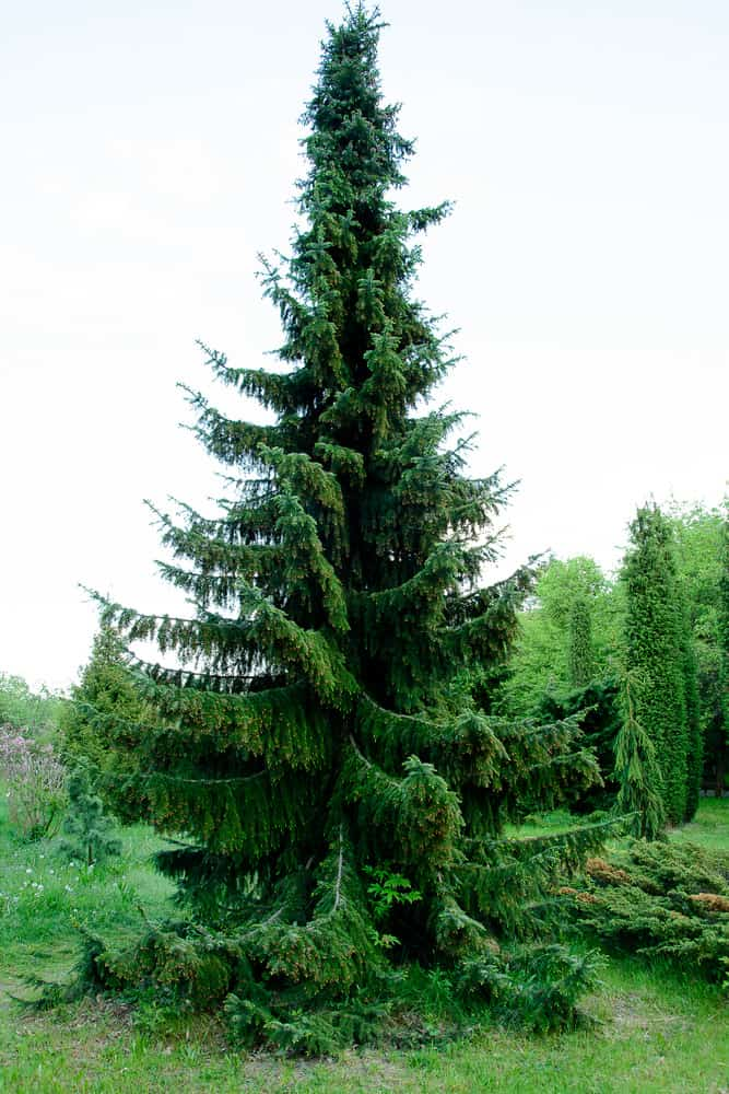 Spruce Tree_Picea-full sun