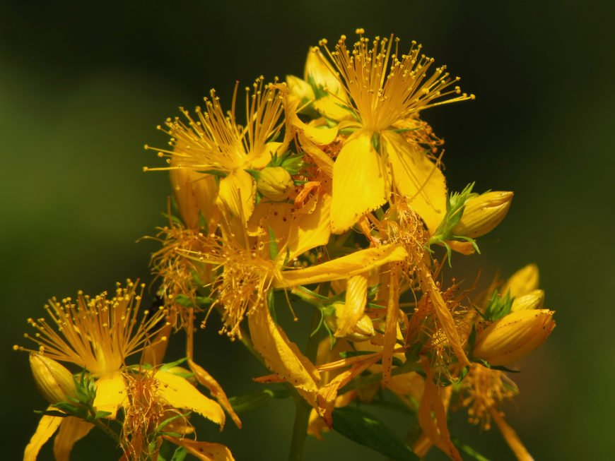St. John's Wort Plant_Hypericum spp.-part sun to full sun