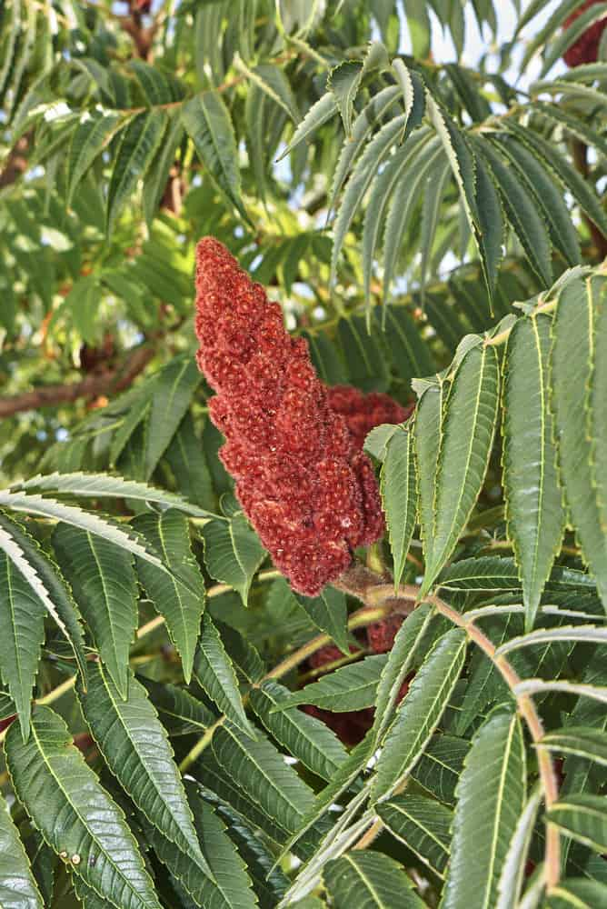 Sumac Plant_Rhus-part sun to full sun