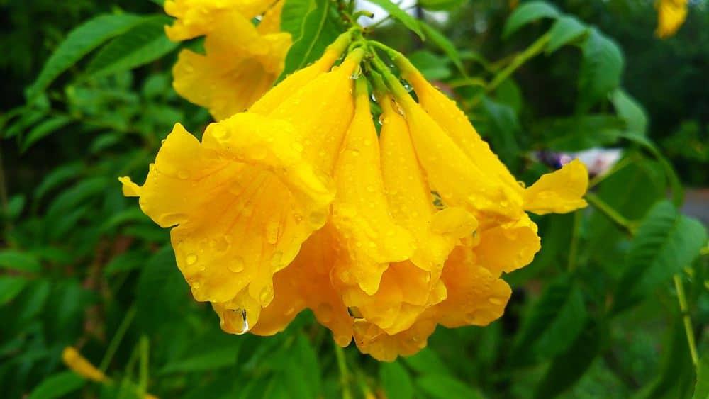 Yellow Bells_Tecoma stans-part sun to full sun