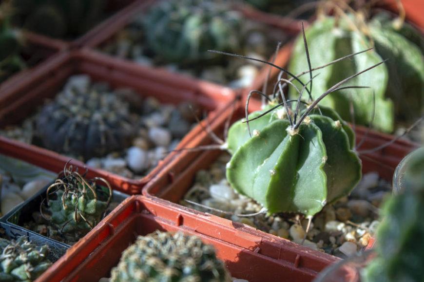 Astrophytum senile