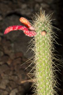 Cleistocactus (Cleistocactus smaragdiflorus)