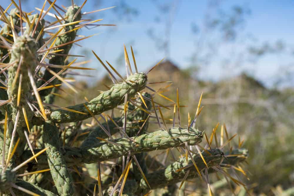 Cylindropuntia ramosissima